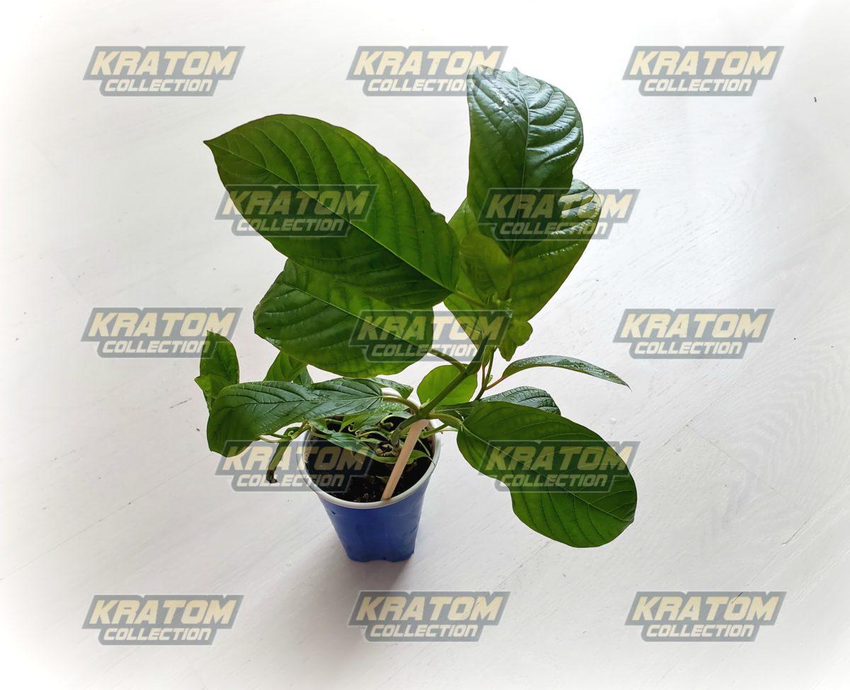 Rifat Kratom Live Plant - KratomCollection.com