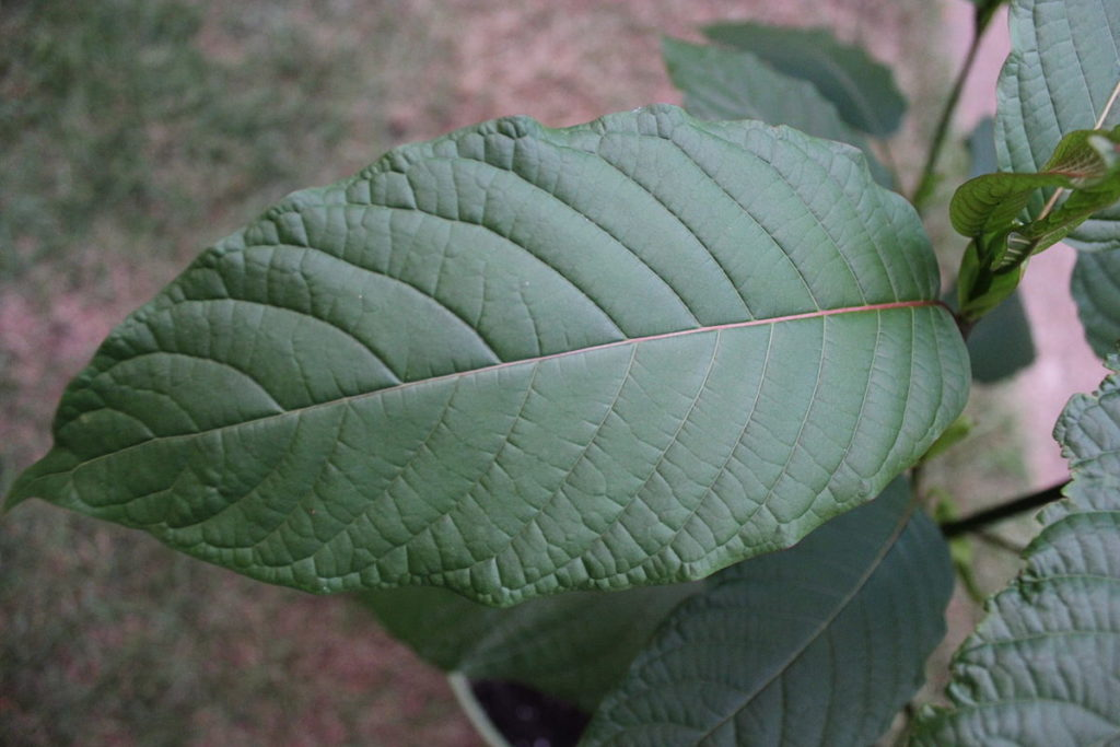 Kratom leaves.