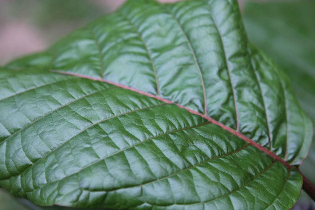 A closeup of a kratom leaf.