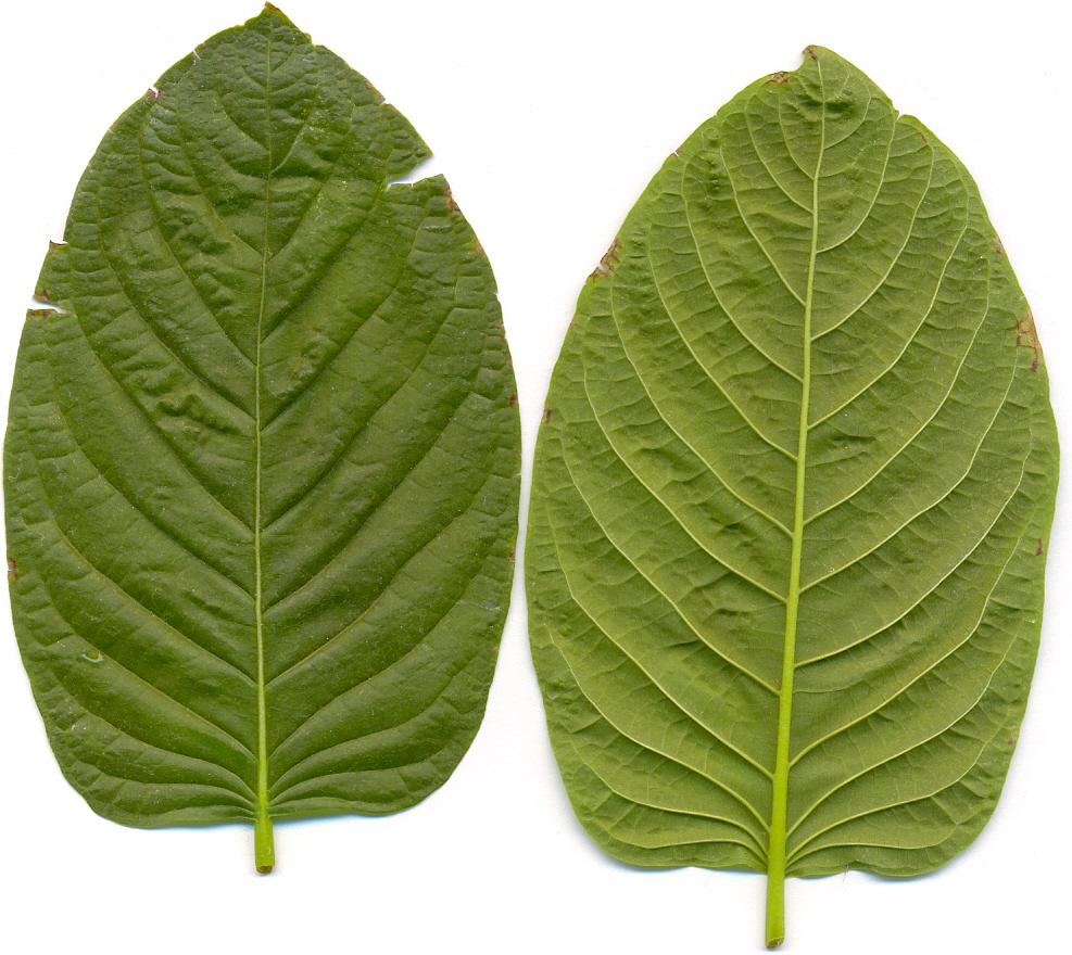 Two kratom leaves.